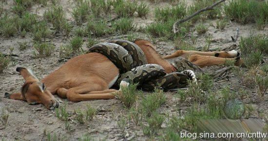"""限制级""""动物世界"""":非洲巨蟒血吞羚羊实拍"""