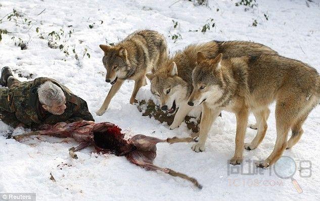 从动物园或野生动物园获得的狼崽