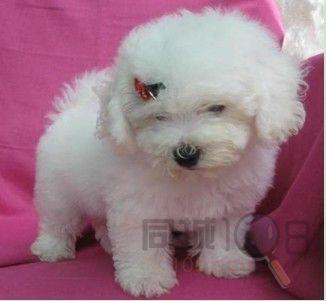 [平江区]苏州专业卖宠物狗比熊幼犬最便宜多少钱