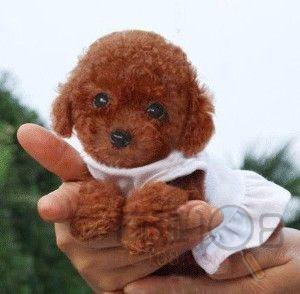 [卖]苏州专业卖宠物狗泰迪熊幼犬最便宜多少钱 苏州哪里有卖泰迪