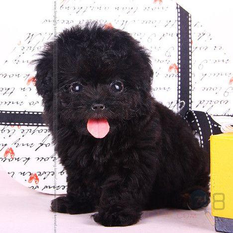 黑色泰迪狗卡通