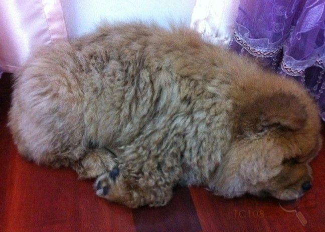 苏州哪边有卖松狮犬 纯种小松狮怎么卖 松狮图片