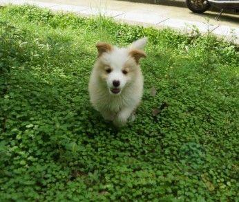 [嵊州市]世上最高智商狗宝宝和小公哈士奇出售