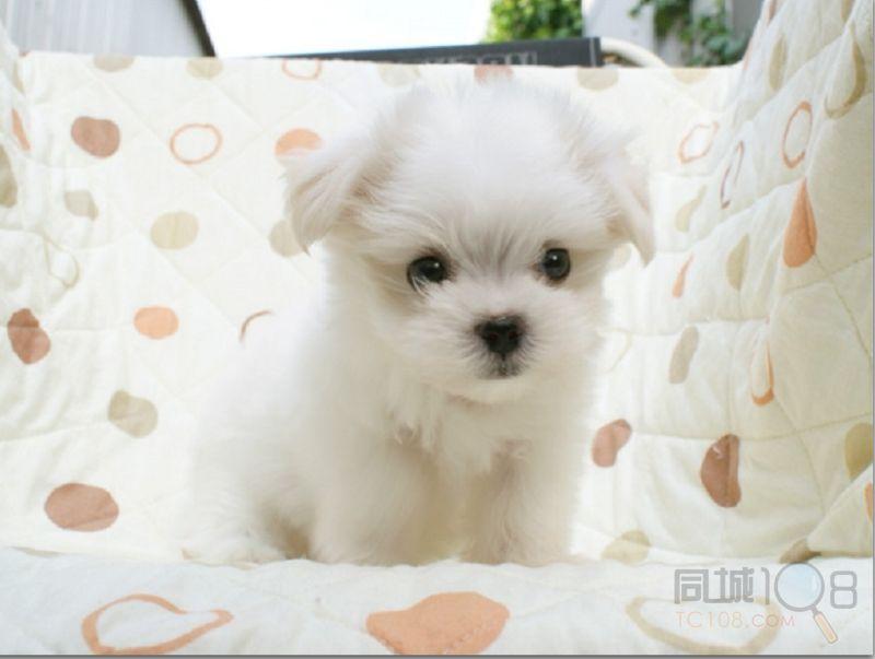 苏州袖珍犬多少钱一只 苏州到哪里买宠物狗茶杯犬有保障