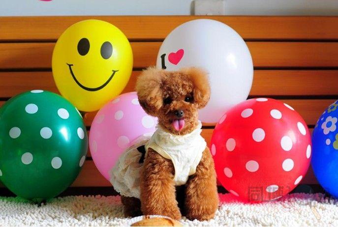 张家港 出售超可爱精品泰迪熊宝宝 品相完美 签订质保协议