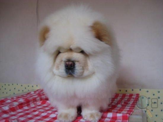 我想买一只小松狮犬请问绍兴哪里有卖 绍兴松狮怎么卖的