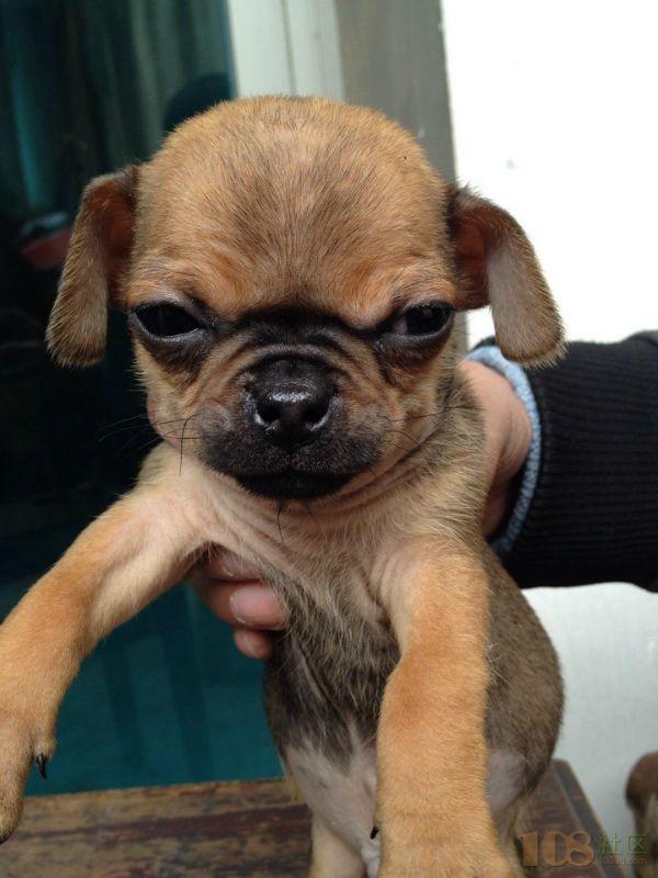 小型腊肠犬,两个月体型小可爱