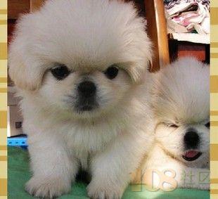 杭州哪里有狗场出售纯种的茶杯犬 品种好的茶杯犬最低多少钱