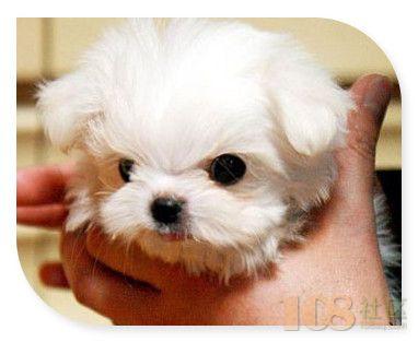 杭州什么地方有狗场出售茶杯犬 纯种血统的茶杯犬大概什么价