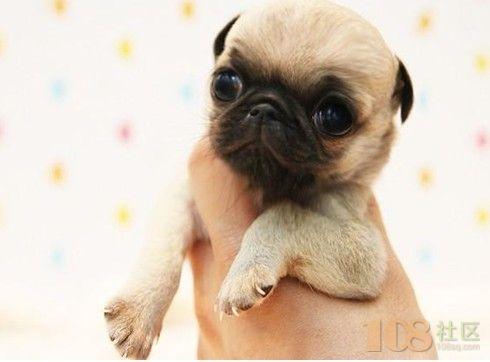[供]憨厚可爱的小巴哥幼犬 保纯保健康 签订售后合同