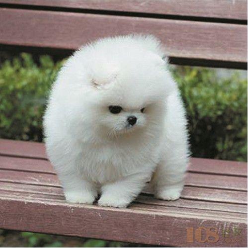 [越城区]绍兴宠物狗博美活泼可爱