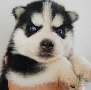绍兴正宗三把火蓝眼睛哈士奇宠物狗专卖