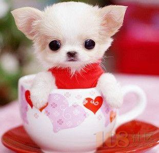 [越城区]绍兴白色茶杯犬多只出售 正宗茶杯袖珍宠物狗非常漂亮可爱