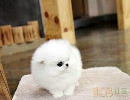 [卖]杭州出售世界上最小宠物狗茶杯袖珍 最便宜狗狗出售 可爱