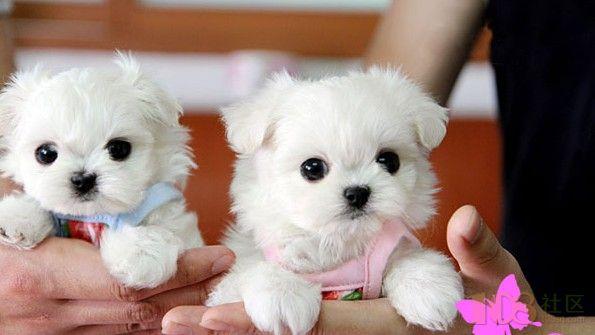 苏州哪里出售袖珍宠物犬 可爱萌宠超级爱可上门选购
