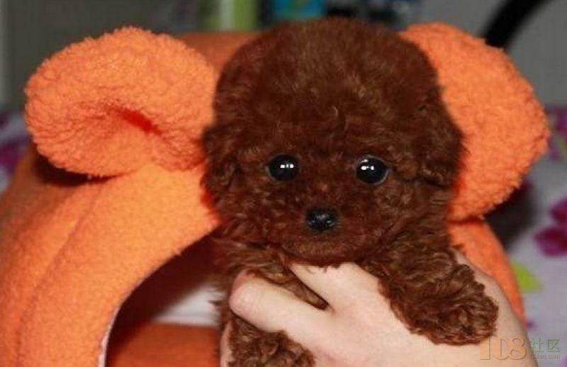 [宜兴市]超可爱哒萌萌哒小体泰迪熊宝宝照片实拍健康